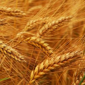 Куплю пшеницу 3, 4 класс.