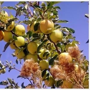Яблоки свежие,  натуральные